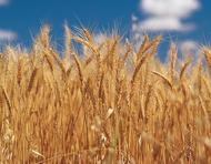 Wheat - Source: NSW DPI - Alf Manciagli