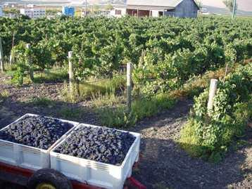 Vineyard- Wine grapes