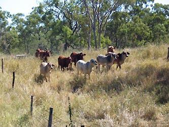 CSIRO Cattle - agriculture