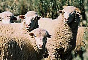 Saltbush Lamb - Bultarra