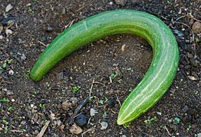 Curvy Cucumber