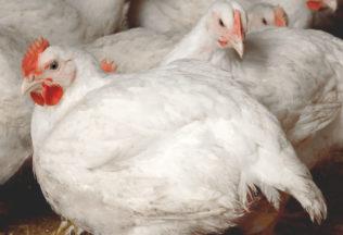 Broiler Farm 2194 - market age meat chicken