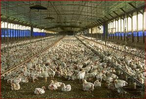 chicken-farm.jpg