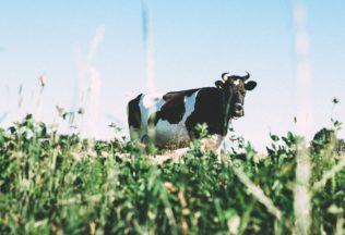 cow-1031017_960_720