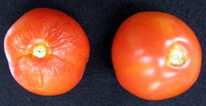 Transgenic Handa tomato