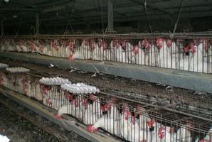 industrial-chicken-coop.JPG