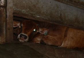 Live Export - Animals Australia - collapsed steer