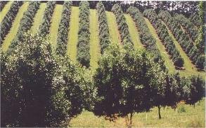 Macadamia plantation