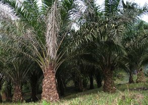 Oil palm plantation on the slopes of Mt Cameroon