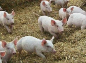 RSPCA piglets