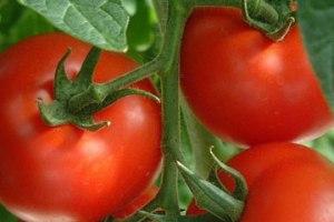 tomato-crop.jpg