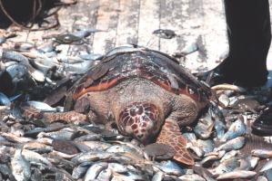 turtle-bycatch-noaa-images.jpg