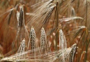 wheat-809444_960_720-1